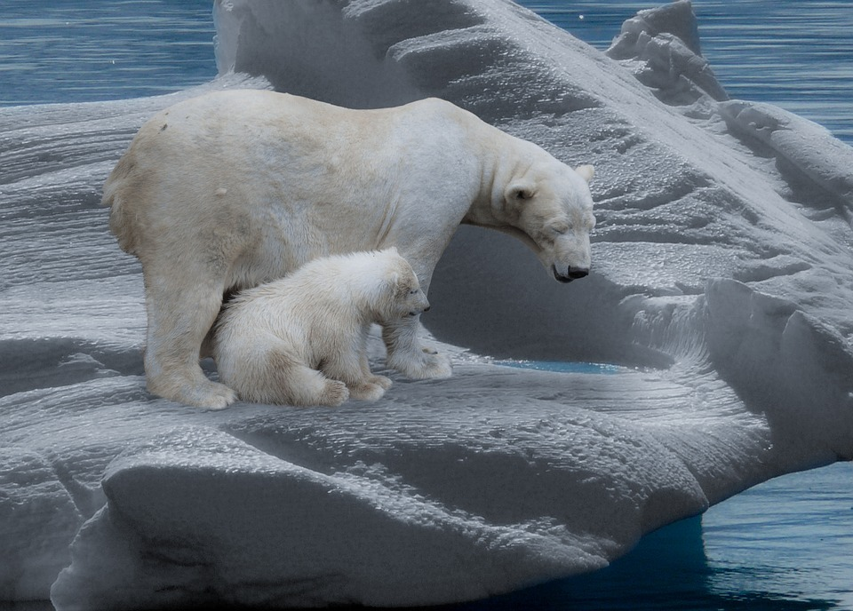 polar-bear-709682_960_720.jpg